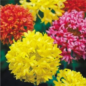 花たね 種 花壇向き ガイラルディア ダブル混合 1袋(200mg) / タネ 種 国華園