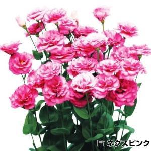 花たね 切花向き トルコキキョウ F1ネクスピンク 1袋(25粒)|kokkaen