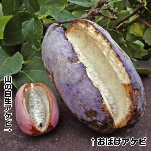 果樹苗 アケビ おばけアケビR 1株 / 果物苗 フルーツ苗 kokkaen