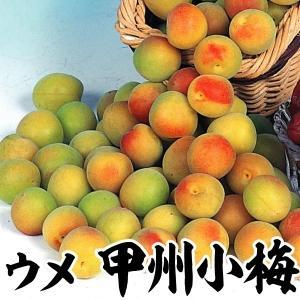 果樹苗 ウメ 甲州小梅 1株 / 果物苗 フルーツ苗 kokkaen