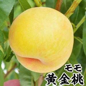 果樹苗 モモ 黄金桃 1株 / 果物苗 フルーツ苗...
