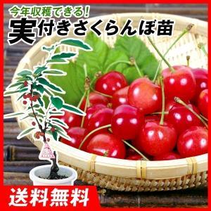 果樹苗 サクランボ 佐藤錦実つき 1株 / 果物苗 フルーツ苗 さくらんぼ 桜桃 kokkaen