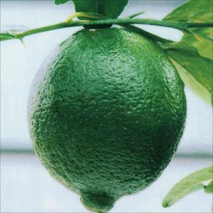 果樹苗 カンキツ タヒチライム 1株