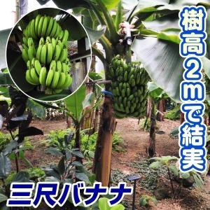 果樹苗 トロピカルフルーツ バナナ 三尺バナナ 1株 / 果物 フルーツ苗 kokkaen