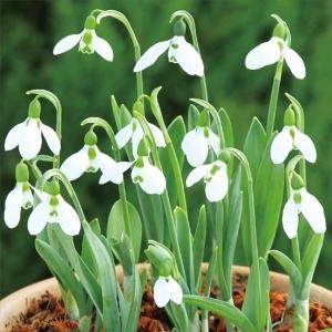 秋植え球根 スノードロップ エルウィシー 10球 / 花の球根 きゅうこん