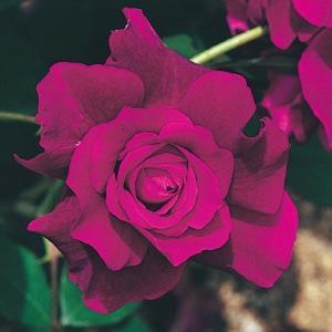 バラ イントゥリーグ 1株 / ばら 薔薇