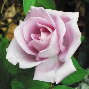 バラ つるブルームーン 1株 / ばら 薔薇|kokkaen
