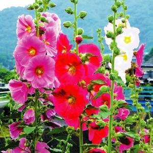 種 花たね タチアオイ 一重混合 1袋(300mg) /ホリホック/タネ たね