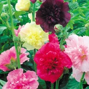 種 花たね タチアオイ マジョレットミックス 1袋(300mg)/タネ たね|kokkaen