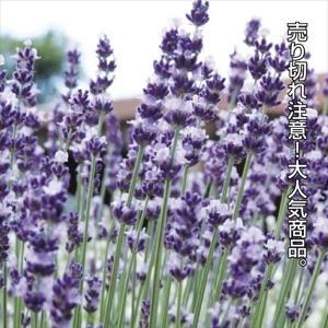 種 花たね イングリッシュラベンダー 1袋(150mg)/タネ たね