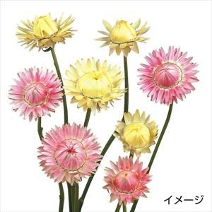 種 花たね 帝王貝細工 アトラクション混合 1袋(100粒) / 花種 花の種 はなたね 切花向き 切花向き花たね テイオウカイザイク ムギワラギク ヘリクリサム kokkaen
