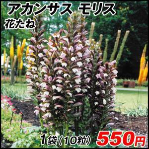 種 花たね 切花向き多年草 アカンサス モリス 1袋(10粒)