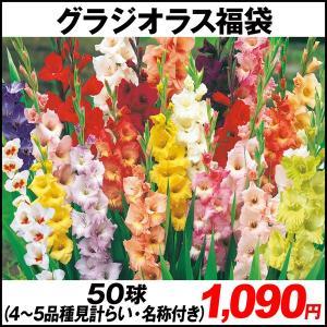 春植え球根 グラジオラス 福袋 60球 (5〜6品種見計らい・名称付き) / 国華園