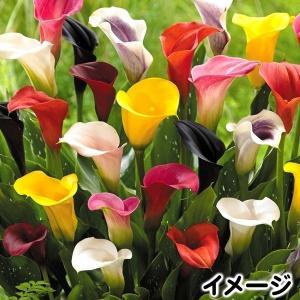 春植え球根 畑地性カラーミックス (無選別) 15球 kokkaen