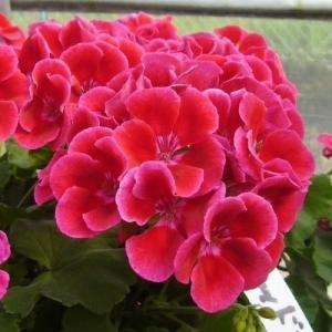 花苗 ゼラニウム カリオペ レッドスプラッシュ 2株 / はななえ 花の苗