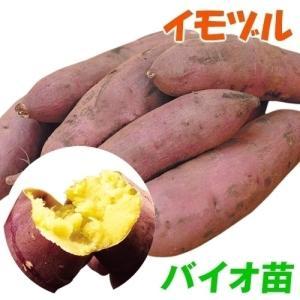 イモヅル(芋づる) バイオ苗べにはるかPイモヅル 50本 / さつまいも苗 サツマイモ苗 薩摩芋|kokkaen
