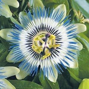 花たね 種 トケイソウ 1袋(80mg) / タネ 種 時計草 パッションフラワー 国華園