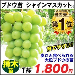 果樹苗 ブドウ シャインマスカット P挿木苗 1株 / ぶどう 葡萄 果樹 フルーツ 果物 苗 苗木