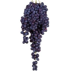 果樹苗 ブドウ ブラック三尺 1株 / 果物苗 フルーツ苗 葡萄 ぶどう