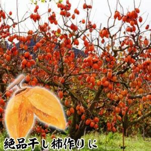 果樹苗 渋柿 夢西条(旧名:溝無西条) 1株 / 果物苗 フ...