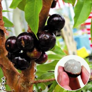果樹苗 ジャボチカバ ビッグワン 1株 / 果物 フルーツ苗...