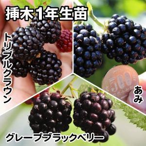 果樹苗 キイチゴ 絶品ブラックベリーセット 3種3株
