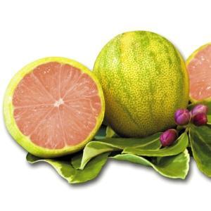 果樹苗 レモン ピンクレモネード 1株