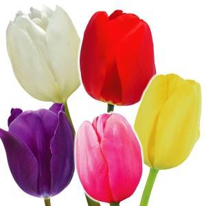 チューリップ 球根 普通球 5色50球セット (各10球) / チュウリップ 花の球根 国華園|kokkaen