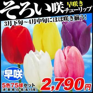 チューリップ 球根 早咲そろい咲セット 5色75球 (各15球)