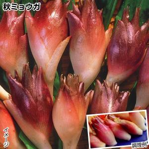 山菜 ミョウガ 秋ミョウガ 5株|kokkaen