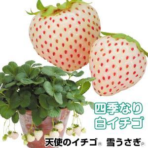 いちご苗 天使のイチゴ(R) AE 3株 四季なり 白イチゴ|kokkaen