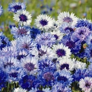 種 花たね 矢車草 ブルーミックス 1袋(500mg)