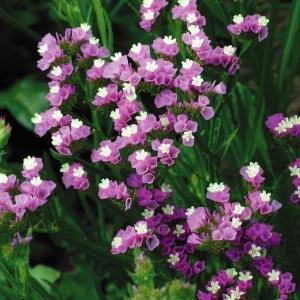 種 花たね スターチス ピンク 1袋(100mg)/タネ たね