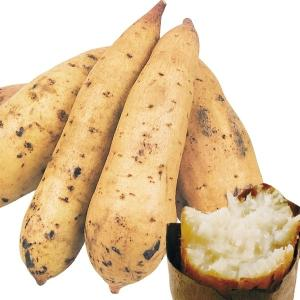 イモヅル(芋づる) タマユタカイモヅル 100本 / さつまいも苗 サツマイモ苗 薩摩芋|kokkaen