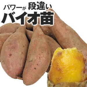 イモヅル(芋づる) バイオ苗安納芋イモヅル 100本 / さ...