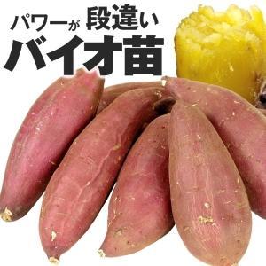 イモヅル(芋づる) バイオ苗シルクスイートPRイモヅル 50本(登録品種名HE306) / さつまいも苗 サツマイモ苗 薩摩芋|kokkaen