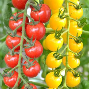 野菜たね トマト F1 CFプチぷよ赤・黄セット 2種2袋 / 種 タネ