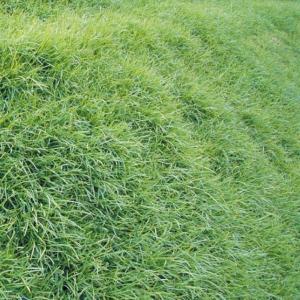 野菜たね 緑肥・景観作物 ティフ・ブレア 1袋(20ml)