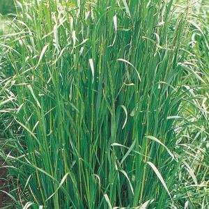 野菜たね 緑肥・景観作物 イタリアンライグラス普通種 1袋(1kg)