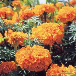 花たね マリーゴールド 高性アフリカンマリーゴールド 橙 1袋(500mg) / タネ 種
