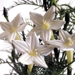 花たね つる植物 るこう草 白 1袋(400mg)|kokkaen