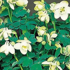 花たね 種 多年草 ミヤマオダマキ 1袋(15粒) / タネ 種 花壇 ガーデニング 国華園