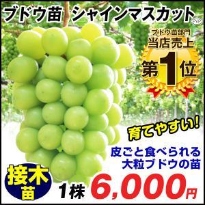 果樹苗 ブドウ シャインマスカットP接木 ウイルスフリー苗 ...