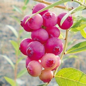 果樹苗 ハイブリッド系ブルーベリー ピンクレモネード ブルーマフィンR挿木3年生苗 1株