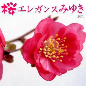 送料無料 花木 サクラ・エレガンスみゆきPVP 1株 kokkaen