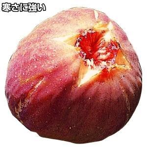 果樹苗 イチジク 早生日本種1株 / 苗木 いちじく 無花果 育てやすい 美味しい 国華園