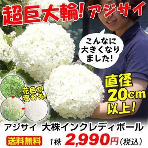 送料無料 花木 大株インクレディボールPVP 1株 kokkaen