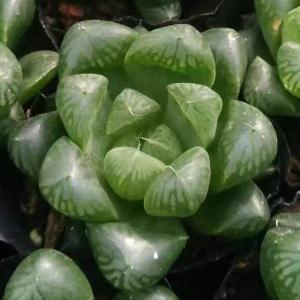 【ネット限定】送料無料 多肉植物 ハオルチア 玉露 1株|kokkaen