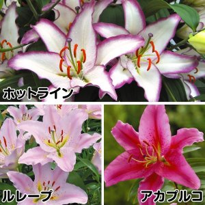 ユリ 素敵な花ユリセット 3種15球|kokkaen