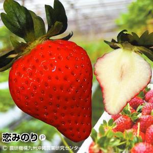 いちご苗 恋みのりP 6株|kokkaen
